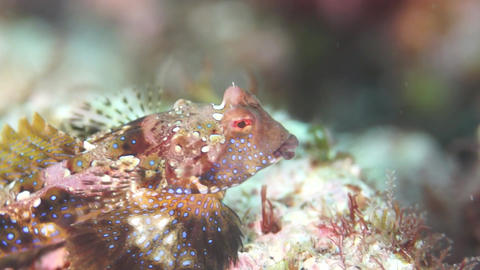 Lined Dragonet stock footage