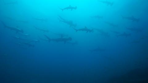 Hammerhead Shark ビデオ