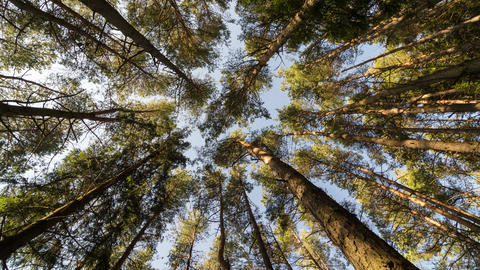 Vertical view of forest pine trees dancing in wind. Time lapse dolly shot Footage