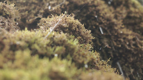 Crystal drops of water dripping on the moss Footage