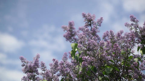 Lilac branches on the sky background Footage