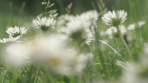 Daisy flowers in a field Footage