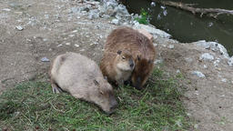 Three Capybaras eating the grass Image