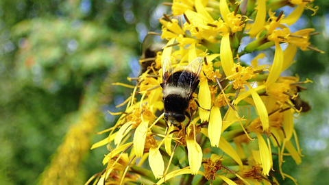Bumblebees gathering nectar on yellow flowers Live Action