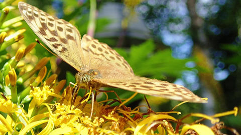 Silver-washed fritillary (Argynnis paphia) butterfly gathering nectar Footage