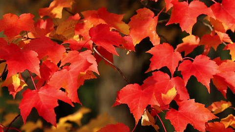 Bright red autumn maple leaves Footage