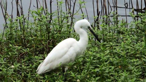 white heron in a swamp GIF