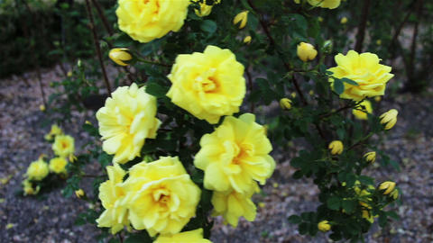 Some yellow roses in the garden Footage