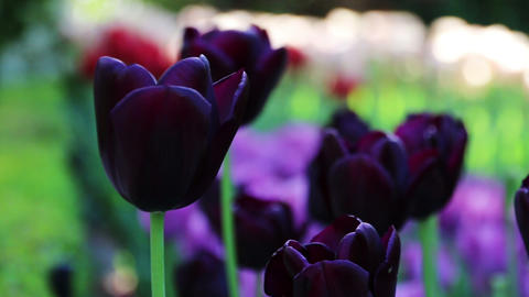 Beautiful purple tulip background. Changing focus Footage