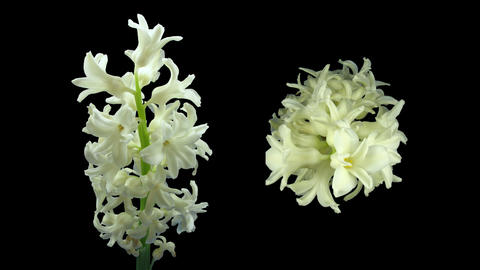 Time-lapse dying white hyacinth Christmas flower with ALPHA channel Footage