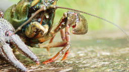 Close-up view of european crayfish mouth parts moving closer Footage