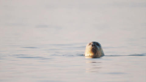 Cute white seal goes under water after looking around from surface Footage