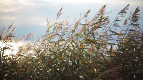 Grass ears shakes from wind. Summer coast on background. Focus in. Close up Footage