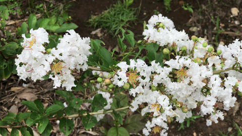 Multiple clip of white Tabebuia rosea blossom Footage