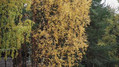 View of tree with yellow leaf in autumn day. Calmly waving from wind. Nature Footage