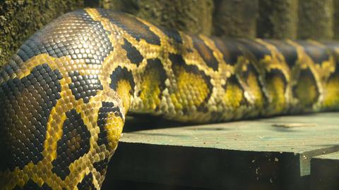 Burmese python body Footage