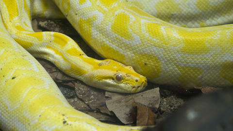 Yellow Reticulated python Footage
