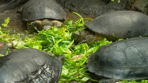 Turtles eating vegetables Footage