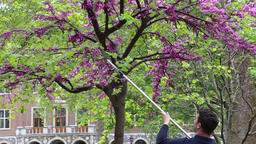Gardener pruning a wisteria tree at Westminster School Westminster London UK Archivo