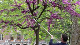 Gardener pruning a wisteria tree at Westminster School Westminster London UK Filmmaterial