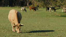Herd of Cows Grazing in a Field Footage