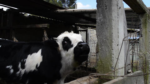 Cow Farm Animals ビデオ