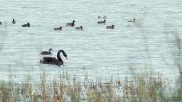 Black Swan and Ducks Swimming on a Lake Footage