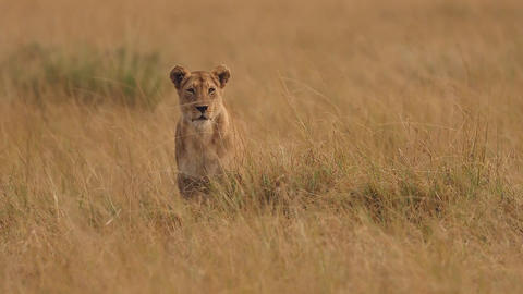 Lioness in the African savannah Footage