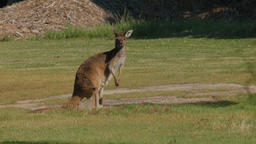 Kangaroo Looking at the Camera Then Continues Eating Grass Footage