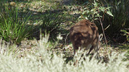 Kangaroo Foraging For Food In Native Bushland Footage