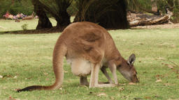Kangaroo with Joey in it's Pouch Grazing on Grass Footage