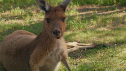 Annoyed Kangaroo Trying To Rest In The Shade Footage