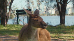 Close Up of a Kangaroo with the Swan River and Perth Skyline Footage