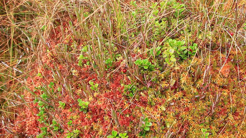 berry-picker gathers red berries of cowberry 영상물