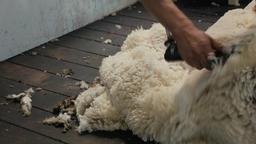Shearer Shearing Down The Back Of A Sheep Footage