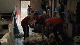Shearers Busy Shearing Sheep Footage