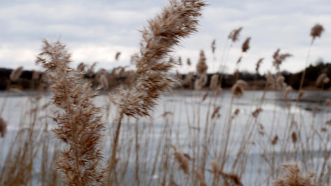 bulrush yellow on frozen lake 4k Footage