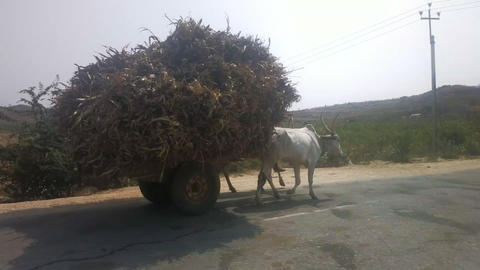 Zebu cows are not sacred in India and used in farming Image