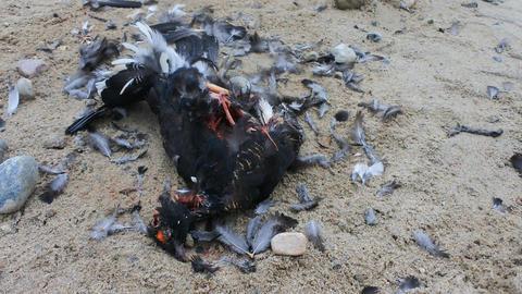 Black Grouse (male) hit by car on roadside Archivo