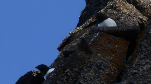 One of the most Northern birds - Little Auk Live Action