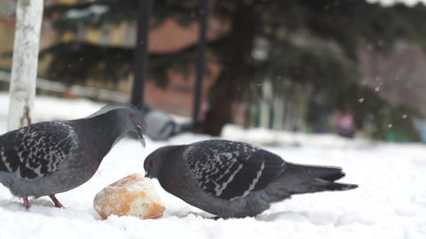hungry animals birds pigeons eat bread in winter, rescue from 영상물