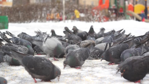 hungry animals birds pigeons eat bread in winter, rescue from Footage