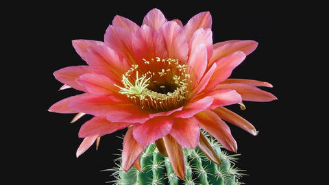 flowers on a cactus bloom (time-lapse) Live Action