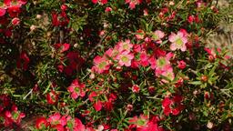 Australian Wildflower - Chamelaucium 2 Footage
