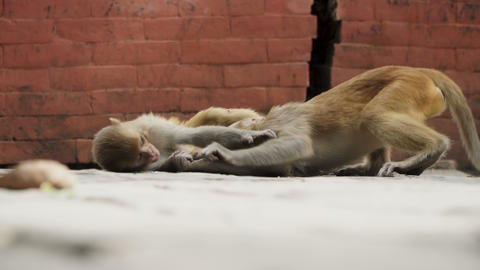 Young monkeys in the city of Kathmandu ビデオ