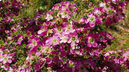 Australian Wildflower - Chamelaucium 1 Footage