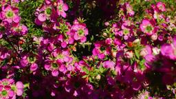 Australian Wildflower - Chamelaucium 3 Footage