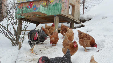 Chickens feeding grain on organic farm in snowy winter Live Action
