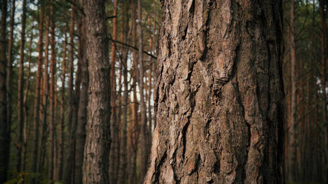 bark of a pine tree in a summer forest Footage