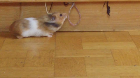 hamster taken in slow motion sees wool rope Live Action